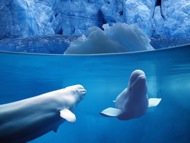 belugas-underwater