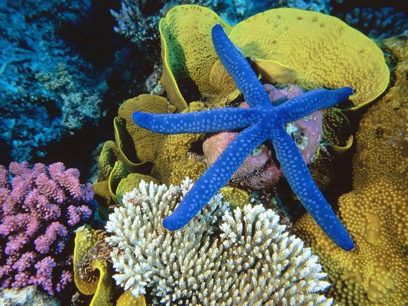 blue-linckia-sea-star-great-barrier-reef-australia