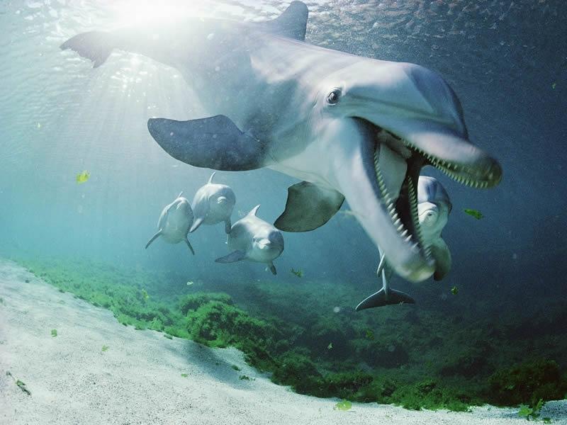 bottlenose-dolphins-hawaii