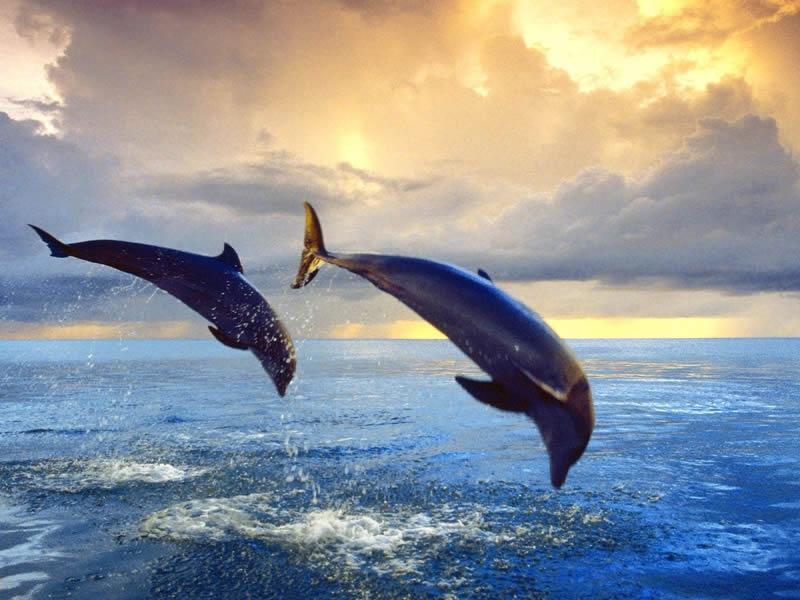 bottlenose-dolphins