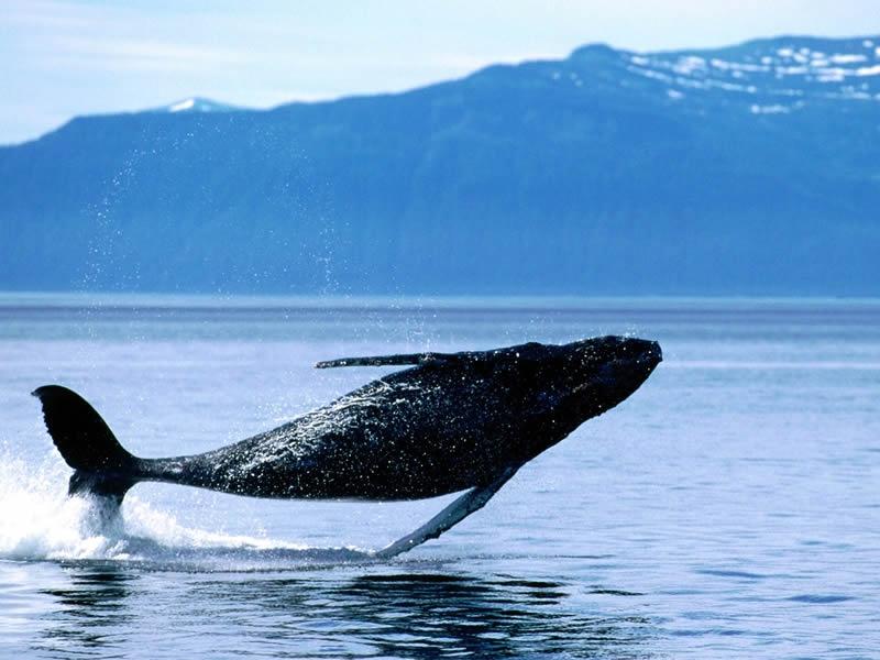 breaching-humpback-whale