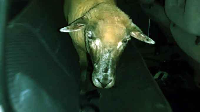 Idoso é agredido a pauladas e acusado de estuprar ovelha após aliciar garoto e não pagar por sexo no Noroeste