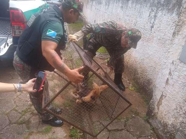 Tamanduá-mirim ferido é capturado no centro de Bela Vista