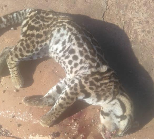 Filhote de Jaguatirica é encontrado morto próximo da cidade